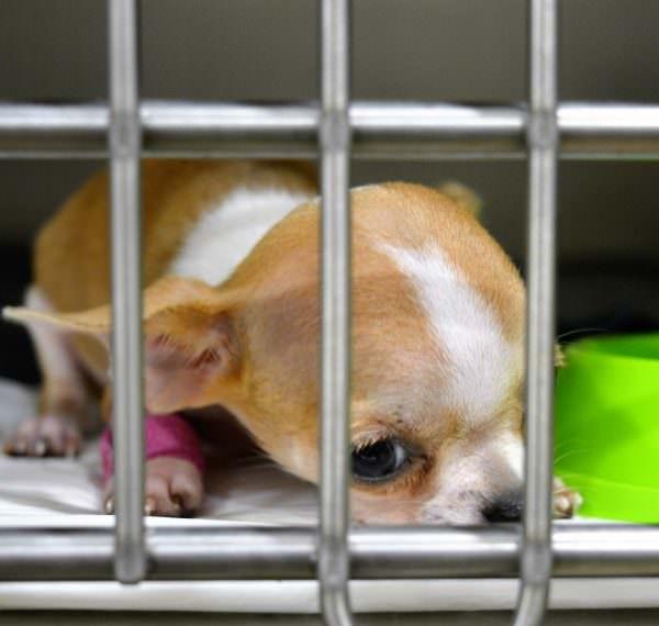 Veterinari 24h Barcelona   El cas del chihuahua cadell Foxy