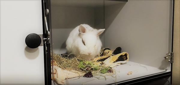Cirugía veterinaria: Absceso retrobulbar   Conejo Winini